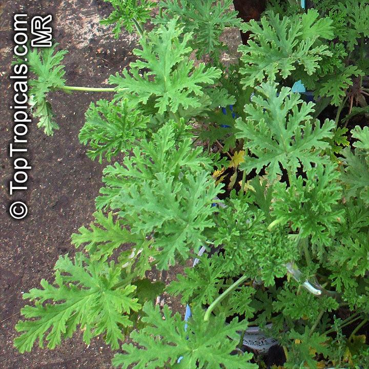 """""""Mosquito Plant"""" Pelargonium citrosa"""