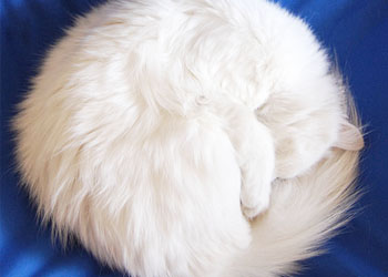 A long-haired white cat curled up on a velvety blue cushion