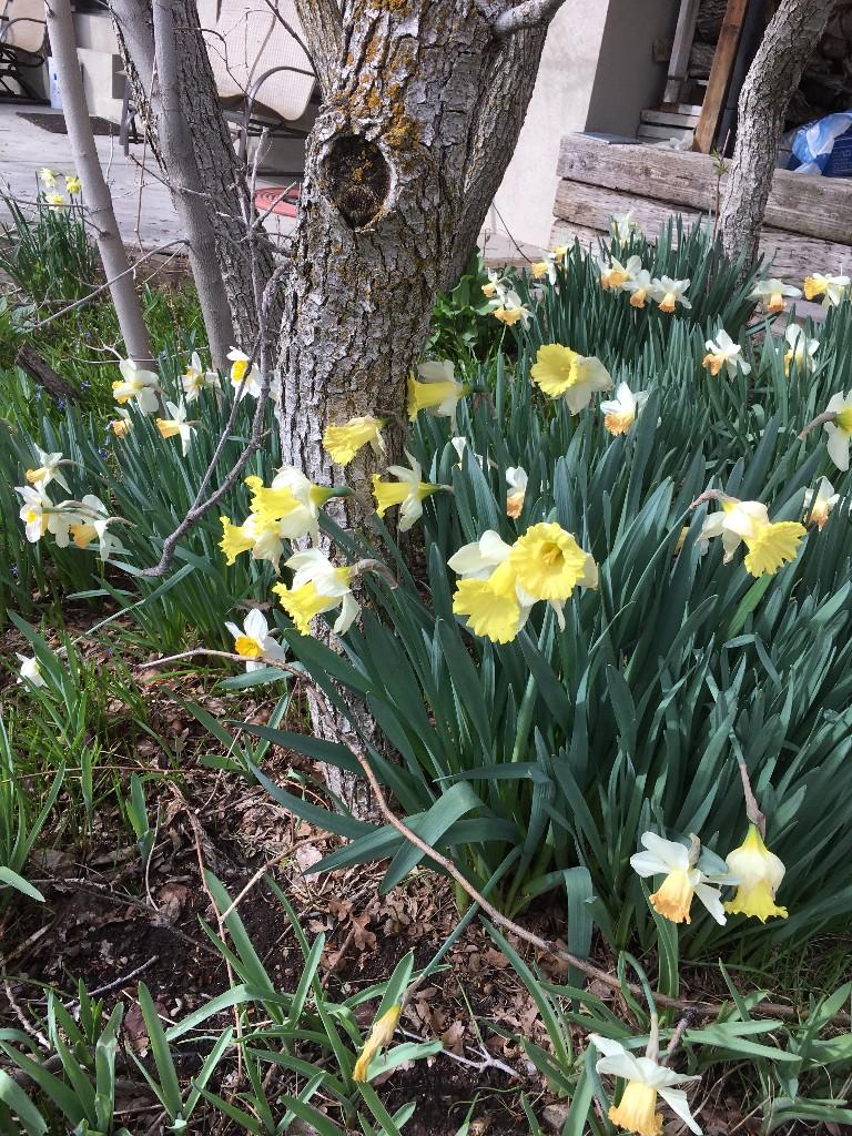 Spring daffodils in Millcreek, Utah