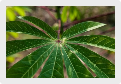 Cassava leaf | Photo: Georgina Smit/CIAT