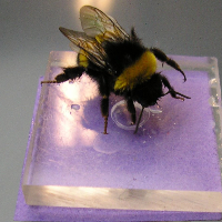 Bumblebee on sweet sugary 'flower' in the flight arena