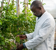 PhD student Mr Aliyu Turaki at NRI examines yam plant leaves for virus symptoms