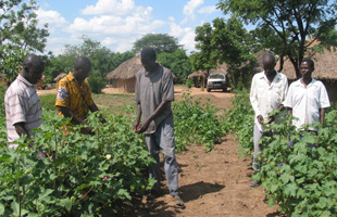 Mystery disease threatens cotton in Tanzania