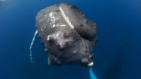Tubercules on the nose oif a humpback whale
