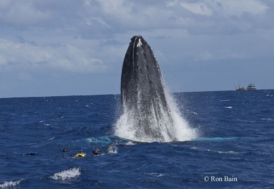 A humpback whale breaches in front of the guests in the water