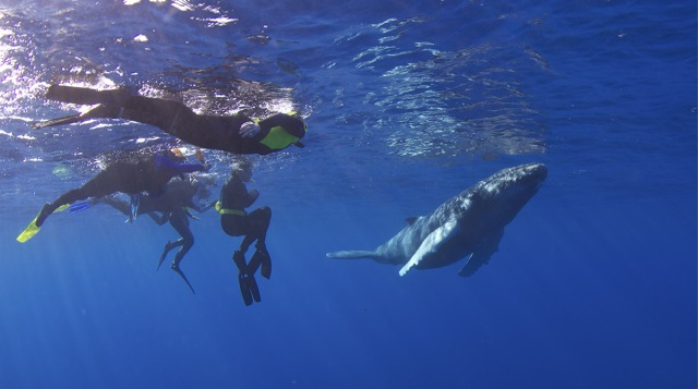 A humpback whale calf swims with guests of Conscious Breath Adventures.