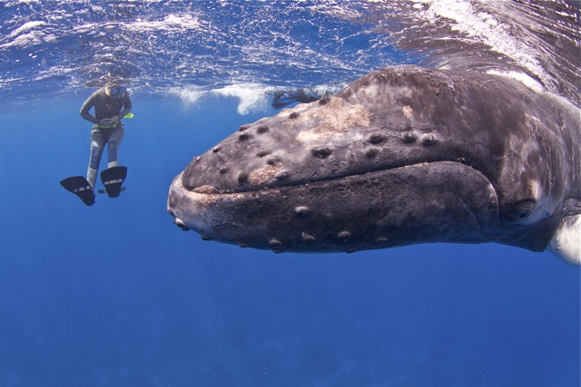 Patches, the humpback whale calf.