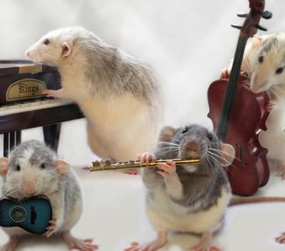 Rats à V'île Fertile