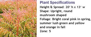 Coral Sun Golden Raintree