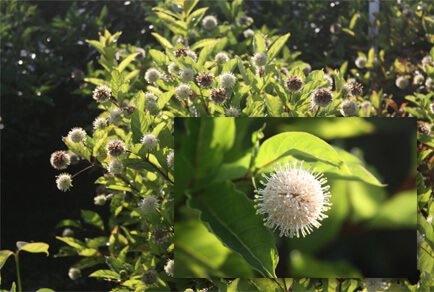 Ping Pong™ Buttonbush