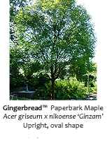 Gingerbread Paperbark Maple