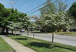 Hawthorne trees