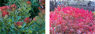 Old Fashioned Cotinus