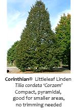 Corinthian Littleleaf Linden