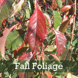 Weeping Extraordinaire™ Flowering Cherry Fall Foliage