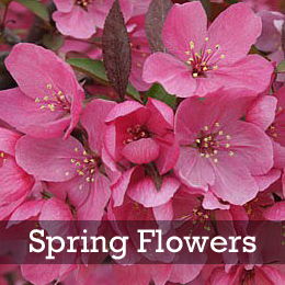 Show Time™ Crabapple Spring Flowers