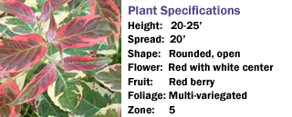 Firebird™ Variegated Dogwood