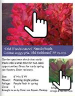 Marleys Pink Parasol® Japanese Snowbell