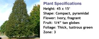 Corinthian Little Leaf Linden
