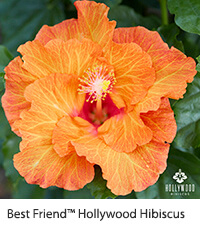 Hollywood TM Hibiscus