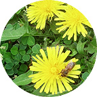 Bee harvesting nectar from dandelions
