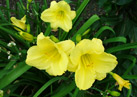 Pocket Full of Gold daylily