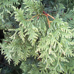 Virginian™ Arborvitae