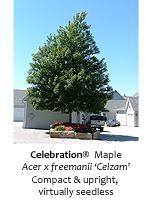 Celebration Maple