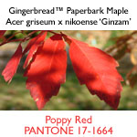 Gingerbread™ Paperbark Maple
