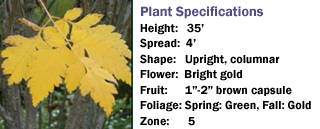 Golden Candle™ Golden Rain Tree Koelreuteria paniculata 'Golcanzam'