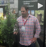 John Lewis with Persian Spire Parrotia video