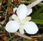 no.31 native iris