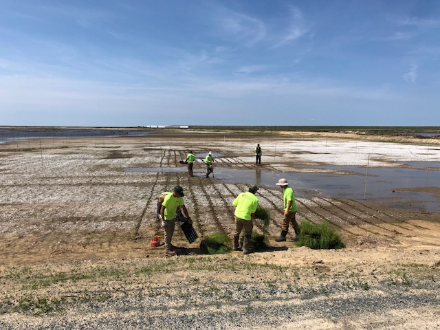 ER&M Workers Planting Spartina Plugs