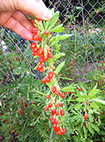 Growing Goji Berries at Home!