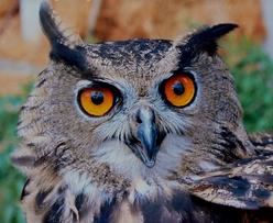 https://pixabay.com/de/eule-geh%C3%B6rnter-vogel-raubvogel-14918/