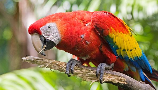 Costa Rica, pappagallo