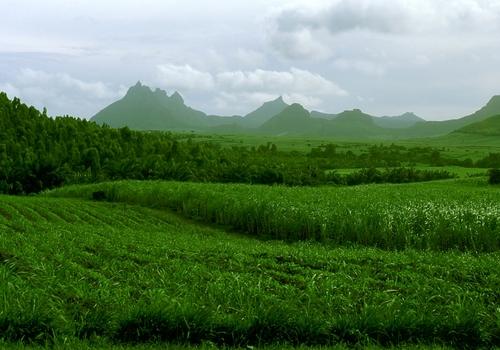 Mauritius sugar plantation