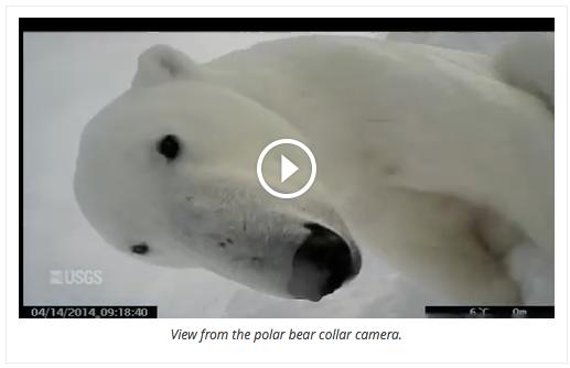 Polar bear collar camera video
