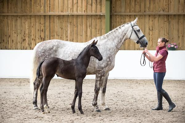 Ferro filly out of Furstin Diaz (with recipient dam)