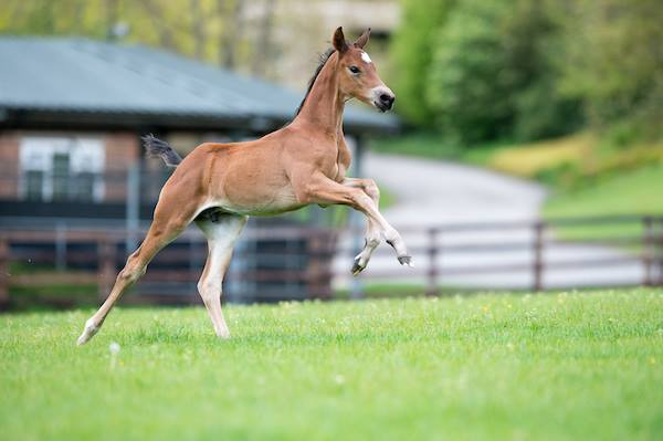 Foals available 2018
