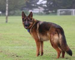 Rosie- great German Sheperd!