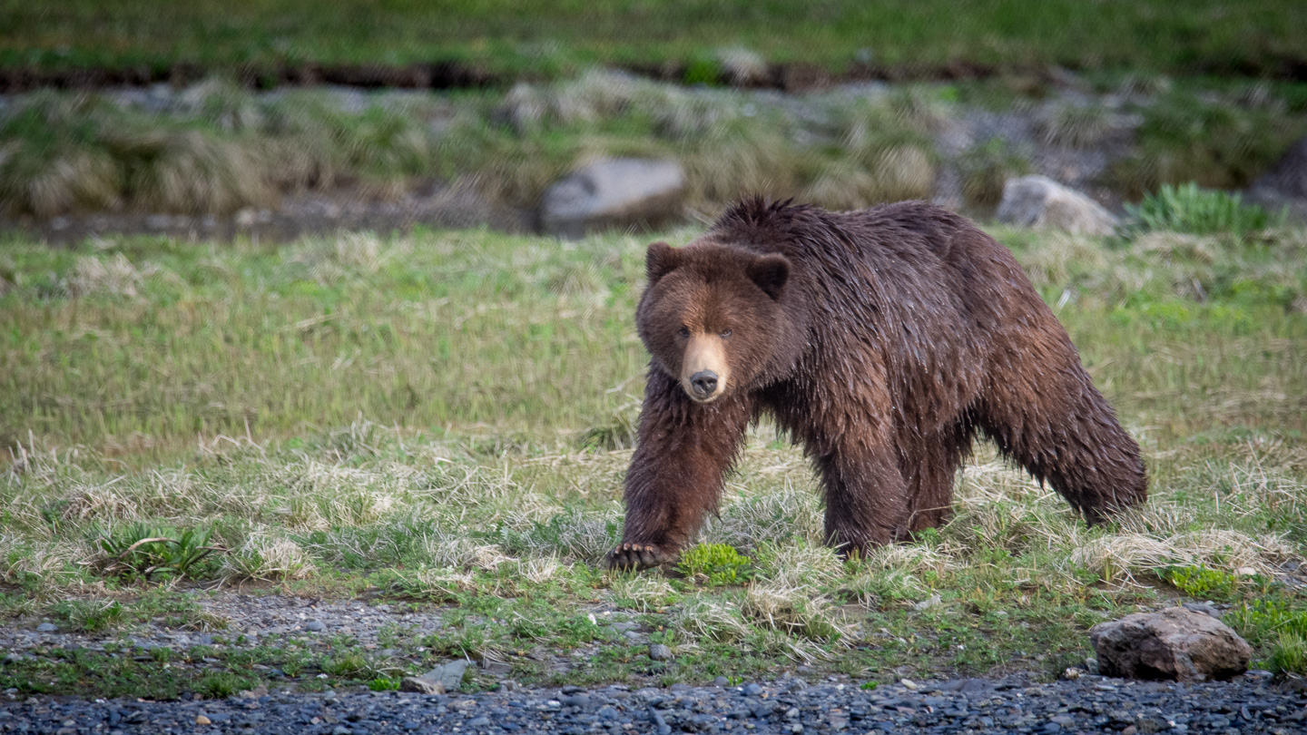 Bear watching on Alaska Cruise