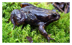 Frog princess find could be kiss of life for an amphibian that's almost croaking