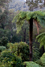The Kuark forest in East Gippsland is a wonderfully diverse forest where cool temperate forest flows into warm temperate forest.