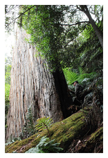 Kuark forest giant tree