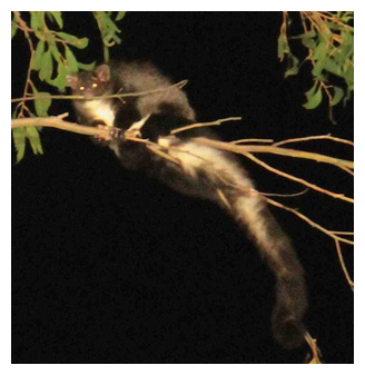 Greater Glider in Cottonwood Range forest