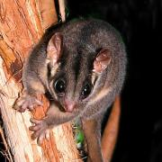 Leadbeaters possum