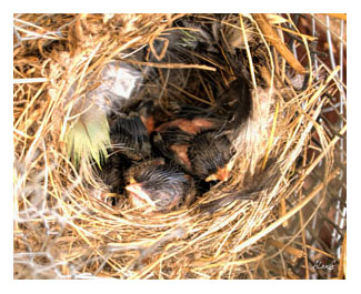 Superb Fairy Wren nestlings