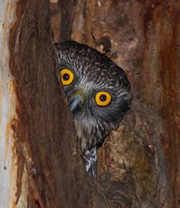 Powerful Owl peering out of tree hollow