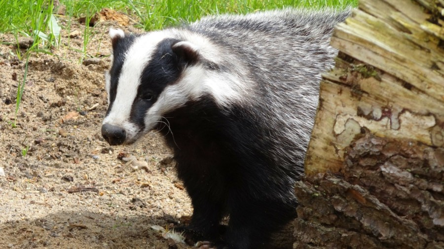 A badger - CC0 Public Domain